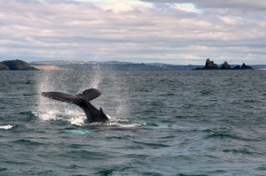 07-Humpback Whale West Cork
