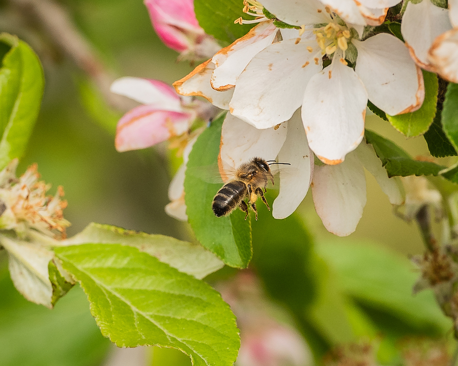 On World Bee Day, ApisProtect, a Cork Agtech company partners with Inmarsat to save bees and increase global crop production - Irish Tech News